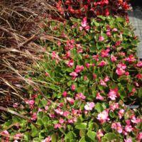 Ornamental Grass, Begonia