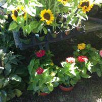 Sunflower, Zinnia